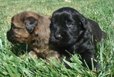 Two small puppies in grass - A black Soft Coated Golden puppy and a brown with black Soft Coated Golden puppy are laying in grass. The black one is looking forward and the brown with black one is looking to the left.