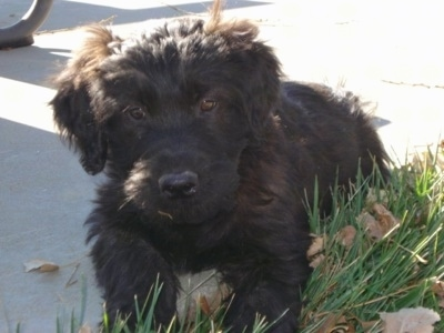 Close up front view - A furry black Soft Coated Golden puppy is laying partially in grass and on a sidewalk. It is looking forward and its head is slightly tilted to the left.