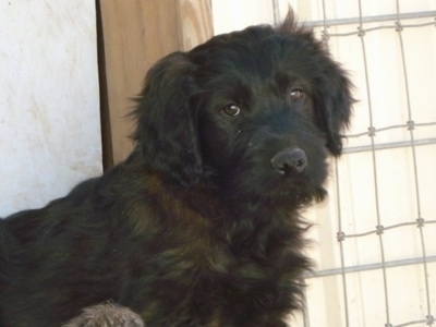 The right side of a black Soft Coated Golden puppy standing in front of a door looking forward. It has longer wavy hair on its chest and ears.