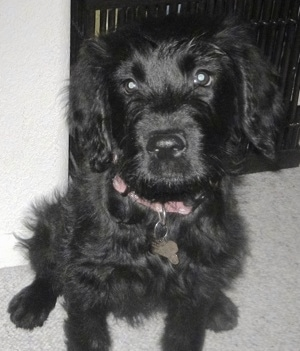 Close up front view - A soft, wavy coated, shiny black Sofe Coated Golden puppy is sitting on a carpet, it is looking up and its head is tilted to the left.