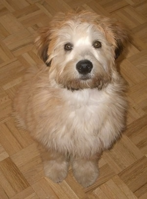 A tan with white and brown Soft Coated Wheaten Terrier puppy is sitting on a tiled floor and it is looking up. It has light brown round wide eyes.