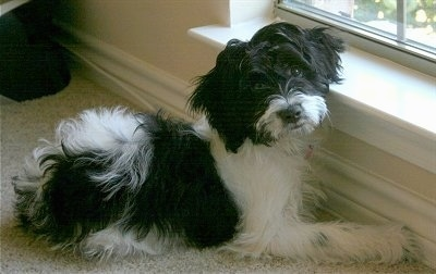 A black and white Mini Springerdoodle dog is laying across a tan carpet in front of a low window looking towards the camera.