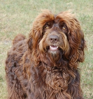 A longhaired wavy coated, chocolate with white Springerdoodle dog is standing in grass, it is looking up and to the left and its mouth is open. It has golden brown eyes.