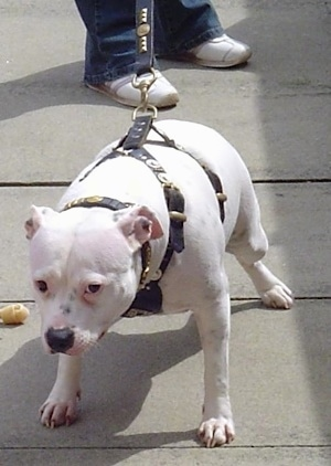 An overweight, white pied Staffordshire Bull Terrier is standing on a concrete surface and there is a person behind it. It is wearing a harness and the dog is pulling.