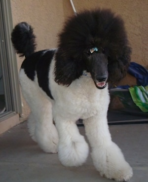 Front side view - A white with black, parti-colored Standard Poodle dog walking down a concrete porch. It has a ribbon in its hair, its mouth is open and it looks like it is smiling. The dog has a thick coat with shaved hair on its snout.