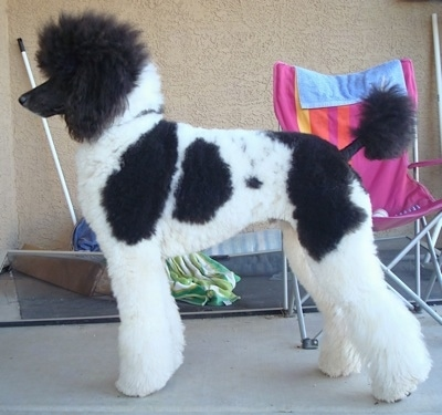 Left Profile - A thick coated, parti-colored white with black Standard Poodle dog posing on a concrete porch. There is a lawn chair behind it. the dog has short shaved hair on its muzzle and the center of its tail.
