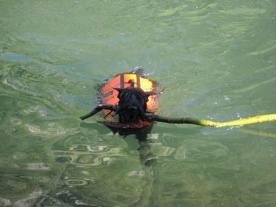 Front view - A black Standard Schnauzer dog wearing a life vest and swimming through a body of water with a stick in its mouth.