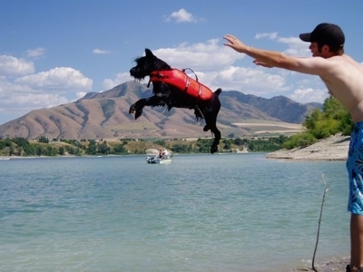 A black Standard Schnauzer dog wearing a red life vest being thrown into a body of water by a person.
