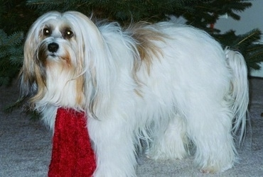 The left side of a thick, longhaired, white with tan and black Tibetan Terrier that is standing across a carpet, it is wearing a red scarf and behind it is a Christmas tree.