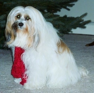 The left side of a long haired, thick coated, white with tan and black Tibetan Terrier that is sitting across a carpet. It is wearing a red scarf, it is looking forward and there is a Christmas tree behind it. The dog has a small black nose and round eyes.