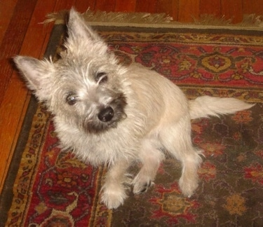 Top down view of a wiry looking, tan with black Toxrin dog that is sitting on a rug, it is looking up and to the right. It has perk ears and longer hair on its snout and face.