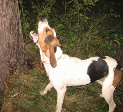 Treeing Walker Coonhound Hunting Tugger the treeing walker