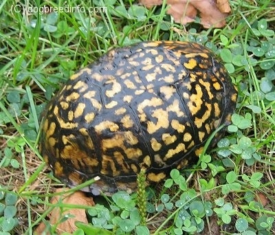 Close up - An orange and black box turtle that is inside its shell. It is in grass outside.