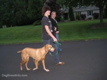Two girls are walking a red Vizsla down a road.