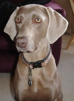 Upper body shot - A large breed, gray Weimaraner is sitting on a carpet in front of a couch.