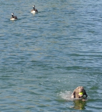A Weimaraner is swimming through a body of water with a tennis ball in its mouth and behind it are two swimming ducks.