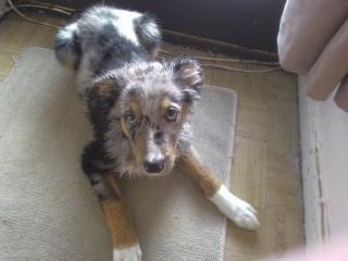 Max, the blue merle and tri-coloured Welsh Sheepdog as a 4 month old puppy
