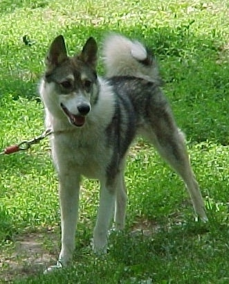 A grey and white Siberian Laika is standing across a grassy surface, it is looking to the right and its mouth is open. It has a very thick curl tail.