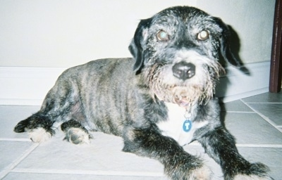 The front right side of a black with white West of Argyll Terrier dog that is laying across a tiled floor and it is looking forward. It's coat is shaved short and it has long drop ears that hang down to the sides and a big black nose.