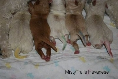 Puppies nursing and there tails have different color marks on them