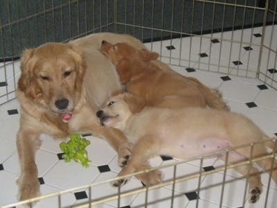 Annie the Golden Retriever laying with Two Puppies