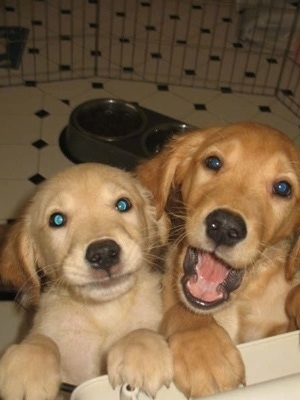 Close Up - Two Golden Retriever Puppies leaning against a corner
