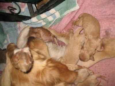 Annie the Golden Retriever dam laying on a towel nursing the puppies