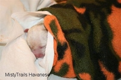 Puppy wrapped in a series of blankets