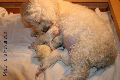 The three puppies born so far are nursing