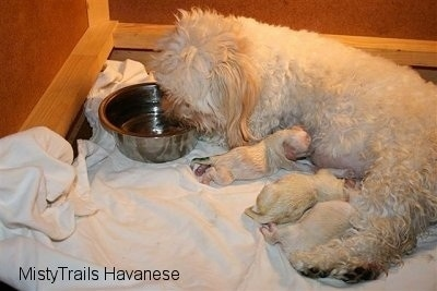 Close Up - Dam drinking water out of bowl and Pups are nursing