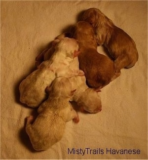 All Five Puppies laying on a towel