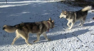 Two black and white Wolamutes are walking towards each other across a snowy surface.