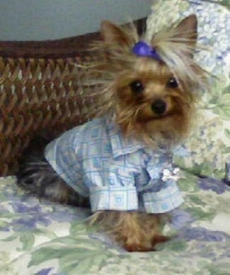 A black and brown Yorkshire Terrier dog sitting on a wicker chair with a foral print. The tiny dog is wearing a button down shirt and a purple bow keeping its long hair out of its eyes. It is looking forward.
