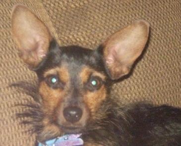 ... Terrier Miniature Pinscher Hybrid Dogs Yorkie   Dog Breeds Picture