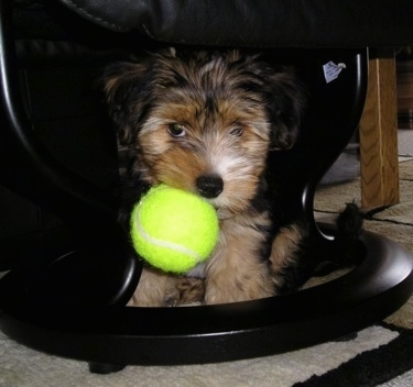 Nicky the Yorkie-ton hybrid (Coton de Tulear / Yorkshire Terrier mix) as a puppy.