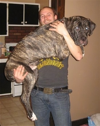 American Bandogge being held by a guy in a living room