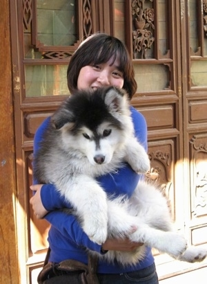 A fluffy, white, grey and black Alaskan Malamute puppy is in the arms of a lady standing in front of a large fancy wooden door. The puppy is looking down and the lady is smiling.