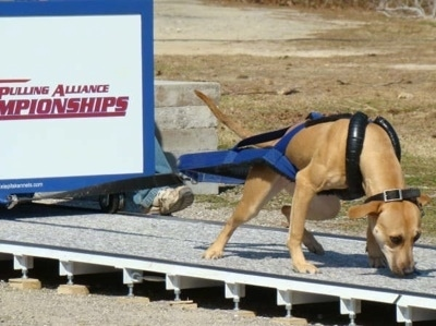 The front right side of a tna American Pit Bull that is pulling a large weight across a platform, in a sandy area.