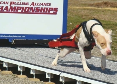 The front right side of a tan and white American Pit Bull pulling a large weights on a platform
