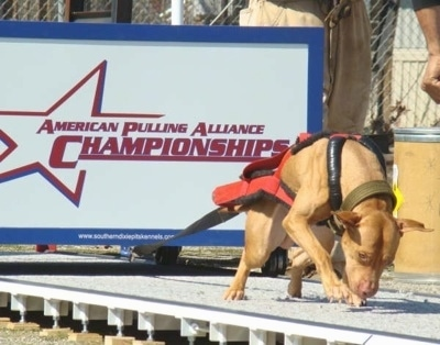 The right side of a tan American Pit Bull that is pulling acrodd a large weight on a platform