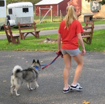 A dog being trained to walk by a girl