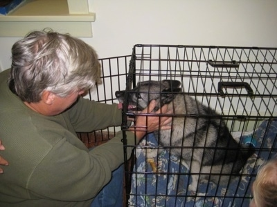 The left side of a grey and black with white Dog in a crate with its mouth open and tongue out. A Person is reaching into a crate to pet the dog.