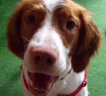 Close Up - Ace the Brittany Spaniel sitting on a green carpet with its mouth open