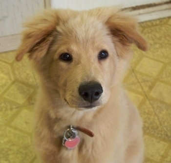 This is Cisco, our Golden Retriever / Chow Chow mix, who we adopted ...