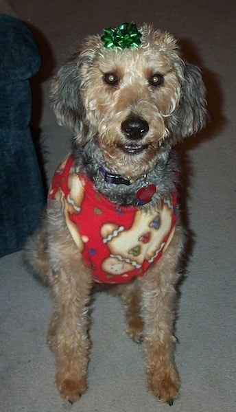 An Airedoodle dpg wearing a gingerbread costume with a green bow on the top of its head.