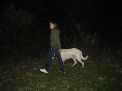 The left side of a White German Shepherd that is being walked in the woods by a lady at night