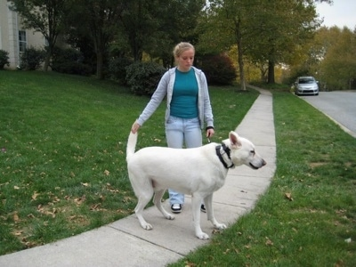A White German Shepherd standing on sidewalk is having its tail held by a lady