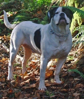 CeeCee the American Bulldog with a choke chain collar on standing in the woods