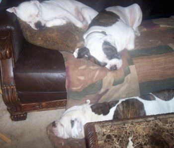 Three American Bulldogs sleeping on a couch and a floor