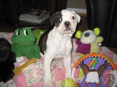 Rose the American Bulldog puppy laying on a dog blanket with stuffed animals around him